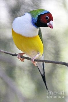 Gouldian Finch Red Headed -white Breasted Mutation by penelope