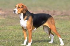 The Hamilton Hound (the Hamiltonstövare  or the Swedish Foxhound ) is one of the most numerous breeds in Sweden  although is remains very ...