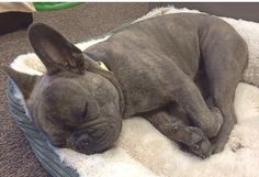Blue Brindle French Bulldog, so sleepy.