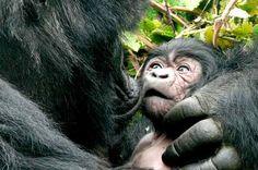 gorillas with babies | African Gorilla Baby Majestic mountain gorilla.