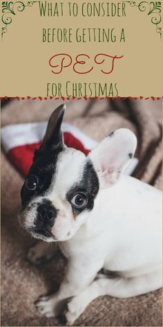 What to consider before getting a pet, puppy or kitten for Christmas or as a pet as a Christmas gift Christmas Gifts For Pets, Christmas Animals, Kids And Parenting, Parenting Hacks, Kids Board, Blog Topics, Pet Puppy, Invite Your Friends, Boston Terrier