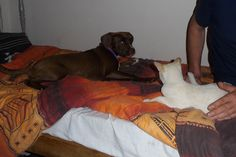 From Rags To Riches, Zsa Zsa, Cuddles, Pitbulls, Facebook, Dogs, Animals, Animales, Pit Bulls