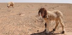 Meet the popular thick-tailed dairy breed of the Middle East