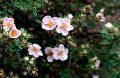 shrubby cinquefoil 'Sophie's Blush'