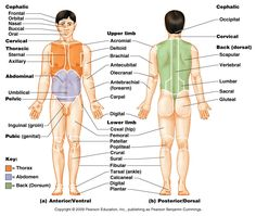 anatomical position and body regions.. Must memorize this for the ...