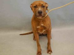 DIAMOND – A1088091 ***  FEMALE, BR BRINDLE / WHITE, AM PIT BULL TER MIX, 3 yrs OWNER SUR – EVALUATE, NO HOLD Reason OWN EVICT Intake condition EXAM REQ Intake Date 08/31/2016, From NY 10458, DueOut Date 08/31/2016,