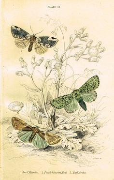 "Jardine Butterfly Print - ""APRIL MISELIA"" - Hand-Colored Engraving - 1833 Illustration Botanique, Botanical Illustration, Illustration Art, Vintage Butterfly, Butterfly Art, Vintage Images, Vintage Art, Vintage Posters, Vintage World Maps"