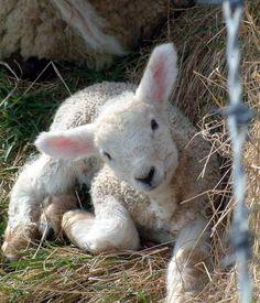 A sweet spring lamb ❤
