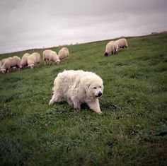 Safe sheep. Wish my Great Pyrenees was doing this, instead of stuck in a boring back yard.
