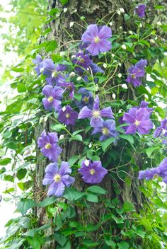Wife, Mother, Gardener: How to Train a Clematis on a Tree Trunk ....  Clematis 'Perle d'Azur' on our maple tree in the Shade Path garden.
