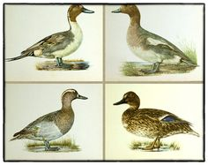 5 vintage bird illustrations birds of heath by LindenTreeVintage #TheVerandaTeam