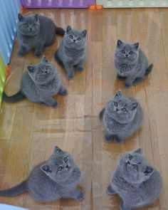 Discover The Russian Blue Cats - Cat's Nine Lives Grey Cats, Blue Cats, Grey Kitten, Cute Cats And Kittens, Kittens Cutest, Kitty Cats, Kittens Meowing, Funny Kittens, British Blue Cat