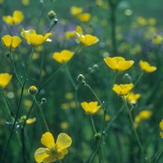 The Meadow Buttercup is one of the most well known and commonest wild flowers.