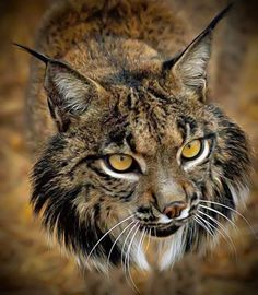 The Iberian lynx Lynx pardinus  photo by John Cancalosi