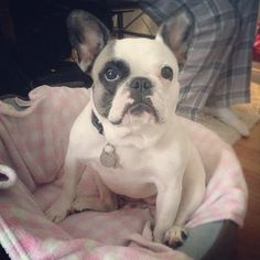 Where are your manners? French Bulldog in unladylike position.