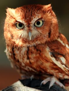 Red-Phase Eastern Screech Owl by jpmatth, via Flickr