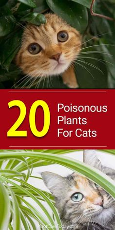 Cats are naturally inquisitive, and that is not always a safe trait. We look at 20 poisonous plants for cats to keep your home safe. [LEARN MORE]
