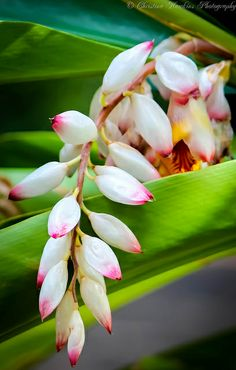 Tropical Beauty © Christina Hawkins