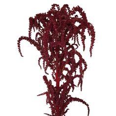 FiftyFlowers.com - Red Upright Amaranthus Fresh Autumn Greens