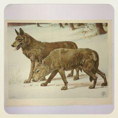 Ulve, litografi, www.penogpapir.dk,  139 kr.