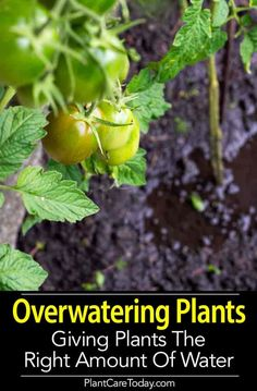 Are you over-watering plants? Far too many plants die by drowning (overwatering). Too much water in the soil makes it unable to support life. All necessary oxygen is pushed out of the soil and roots begin to rot and the plant collaspes. [LEARN MORE]