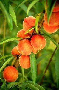 Fruit tree-Apricot