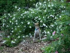 Spring arrived before Paul had a chance to prune his roses. Fine Gardening, Gardening Tips, Most Beautiful Flowers, Beautiful Gardens, Garden Trees, Garden Plants, Pruning Roses, Gardening Magazines, Spring Photos
