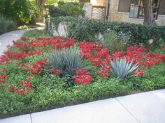 Blue Agaves, Red Bouganvillea & Jasmine make a no maintanence & low water garden.
