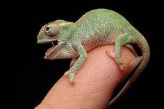 Chameleon Chamäleon - Grün (1200×800)