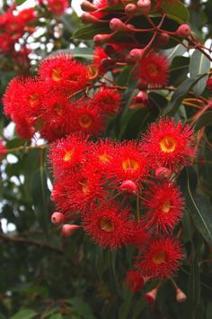 Red Flowering Gum Tree Corymbia ficifolia native to southwest of Western Aust Bäume Pflanzen Beautiful Flowers, Unusual Flowers, Amazing Flowers, Australian Plants, Red Plants, Trees To Plant, Australian Wildflowers, Australian Flowers, Flowering Trees