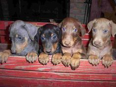 To one day own 4 Doberman Pinschers of all 4 colors of Blue, Black tan, Red rust, and Fawn.