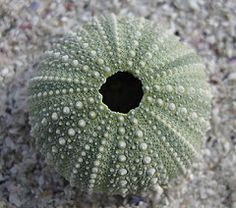 Collected an empty urchin from the ocean