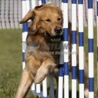 Gaylans Performance Golden Retrievers North Carolina In 2020 Golden Retriever Retriever Dogs