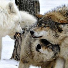 Protectors of Family~ Wolves