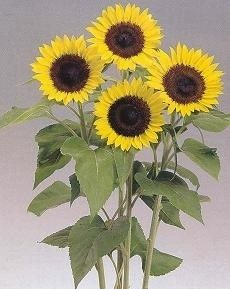 Pase Seeds - Helianthus Sunflower Sunrich Lemon Annual Seeds, $4.99 (http://www.paseseeds.com/helianthus-sunflower-sunrich-lemon-annual-seeds/)