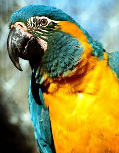 A beautiful Blue-throated Macaw. A pet I hope we'll have one day ^^