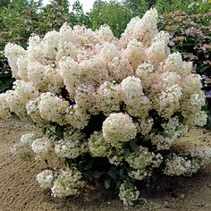 Bobo™ Hydrangea Shrub - a more compact shrub at 3 - 4 ft tall and wide. It's covered all summer with large white flowers on stiff stems. In fall, they blush pink before turning brown for the winter.
