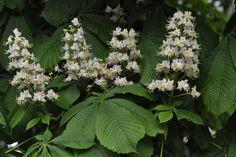 Hevoskastanja - Aesculus hippocastanum 17th Century, Finland, Dreams, Garden, Plants, Garten, Lawn And Garden, Gardens, Plant