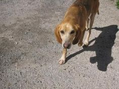 Griffith is an adoptable Hound Dog in Appomattox, VA. Griffith came to us as a stray and no one has reclaimed him. Hes a great, great dog! Calm, keeps his run clean, loves his blanket, quiet and ju...