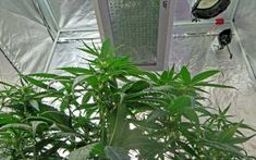 HPS vs LED Grow Lights: 5 Barriers to Light Domination | Grow Weed Easy Grow Lights For Plants, Led Grow Lights, Cannabis Plant, Weed, Lighting, Garage, Middle, Classroom, Dark