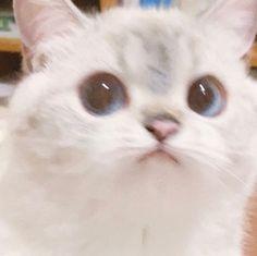 Cute Cat Memes, Funny Cute Cats, Cute Baby Cats, Cute Kittens, Cute Little Animals, Cute Funny Animals, Cute Kitten Meme, Funny Cat Pics, Ragdoll Kittens