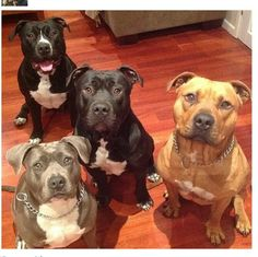 I imagine that this is what my home will look like one day....a house full of pits when you walk through the door!!! :) #dream