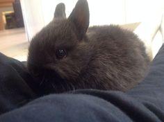 Nibbles ❤️ My Netherland Dwarf Bunny