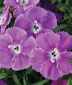Dianthus, Diana's Blueberry Hybrid,