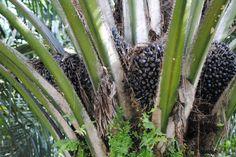 Palmvruchten op Sumatra