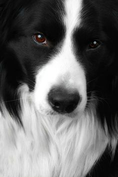 This is the most beautiful Border Collie I've ever seen. I'm envisioning this dog as the main character in my book Rex Appeal. Check out Zoomyboy's website for more pretty stuff. Amazing photos.