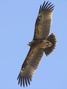 Aquila clanga Pretty Birds, Beautiful Birds, Animals Beautiful, Eagle In Flight, Australian Birds, Birds Of Prey, Bird Watching, Bird Feathers, Bald Eagle