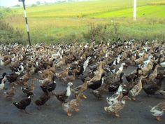 Let's go for a morning marathon... Quack... Quack..