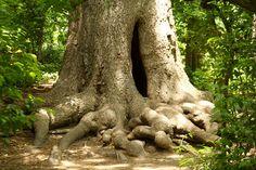 pecan trees | Pecan Tree