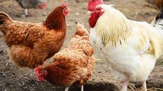 Quelles races de poules pondeuses pour mon poulailler ?